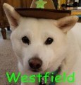 westfield thoroughbred
