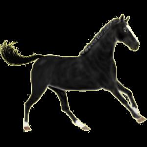 Koń wierzchowy Koń czystej krwi arabskiej Siwa Jabłkowita