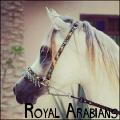 royal arabians