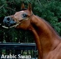 arabic swan