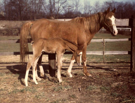 1967 mare IMRANA #41464 an Imagination daughter out of Ranayla; pictured with a colt by Grey Knight. Imrana was our first purebred foal born on the farm; Half-Arabian foals were always bred and raised previously. A great broodmare, Imrana's breeding is still part of our Crabbet-Egyptian program to this day