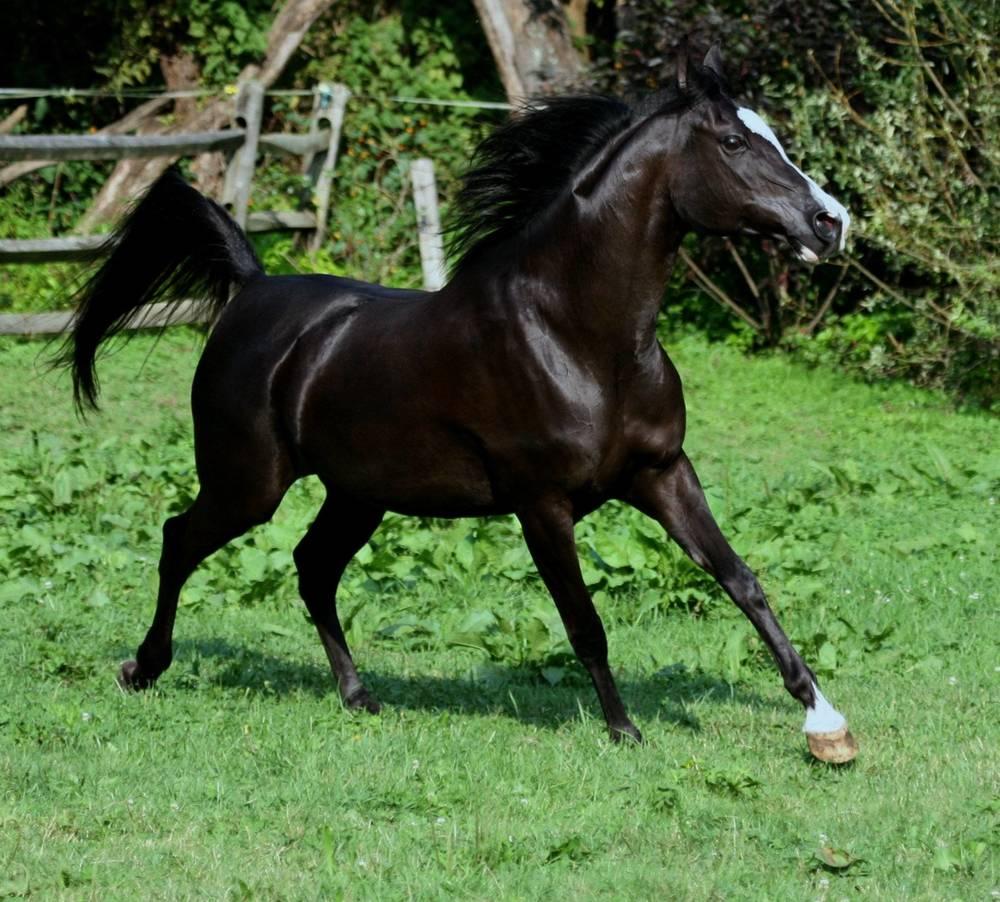 HU-ZANKAHRA  (Hu-Ali Mozes x Hu-Zipperan)   Black 2000 Mare   Bred & Owned by: Hughes Arabians
