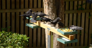 crows at feeder