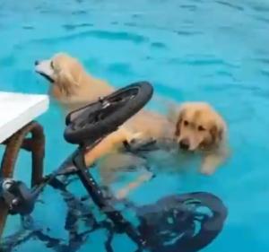 lion swims with taiia
