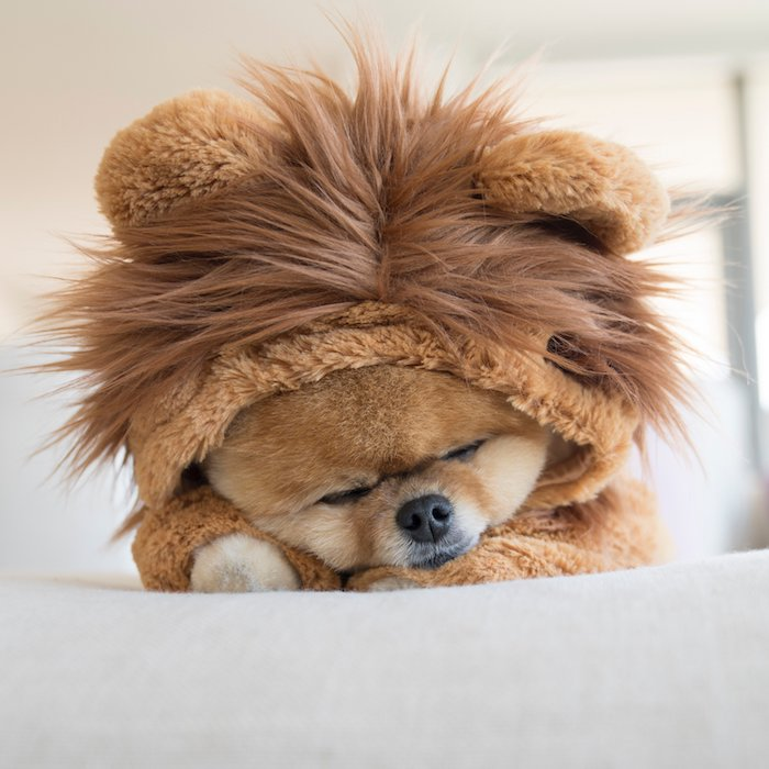 jiff as a tiny lion