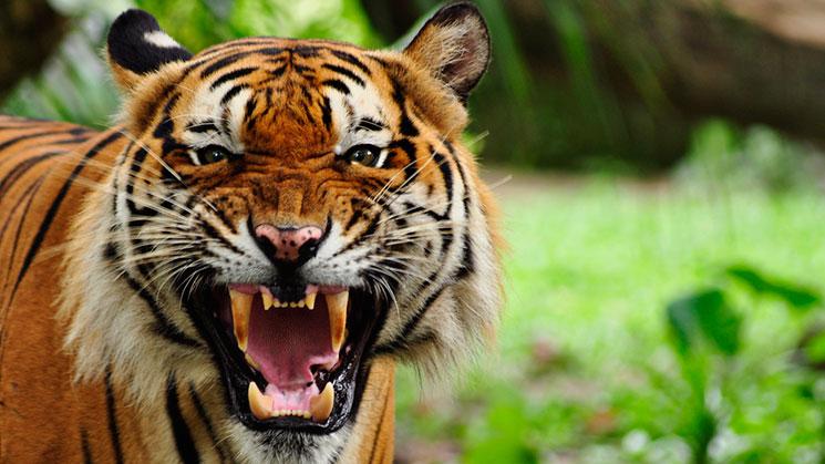 tigre170816