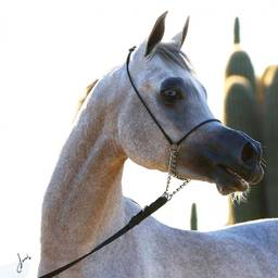WORTEX : Silver Medal Arabian Breeder's World Cup