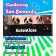 CACHORRAS SAN BERNARDO
