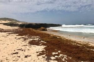 Gobernador Boekhoudt a inspecciona costa norte yena cu 'Sargassum'