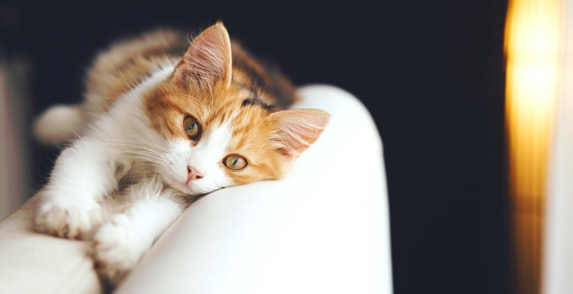 4 razones que pueden afectar el humor de su gato