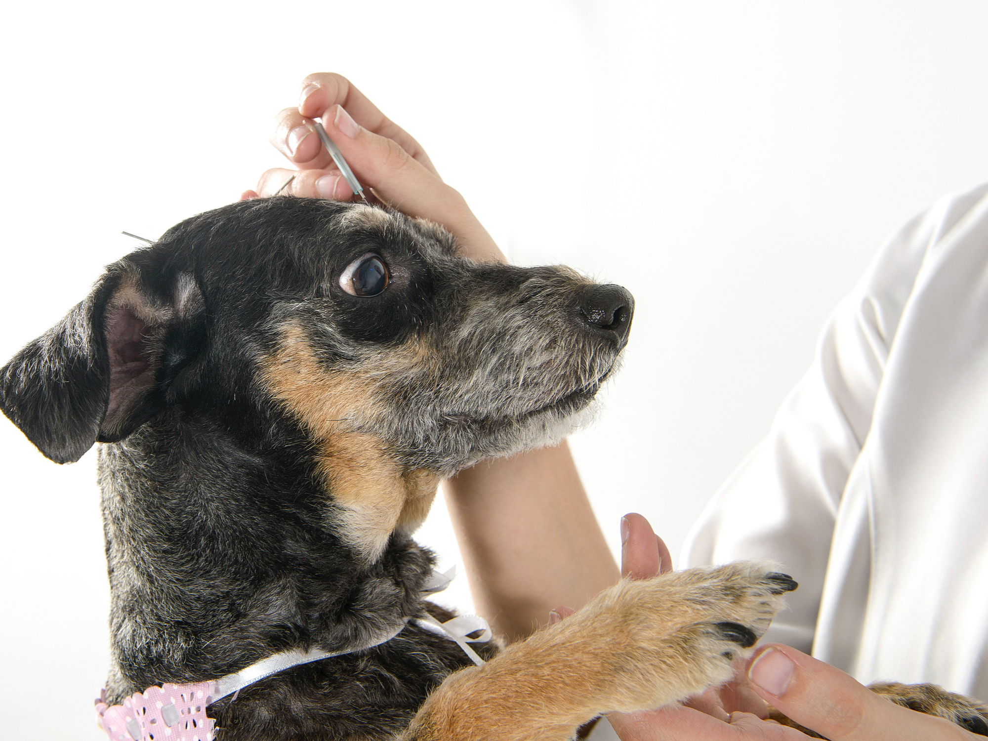 How Is Acupuncture Beneficial for Pets?