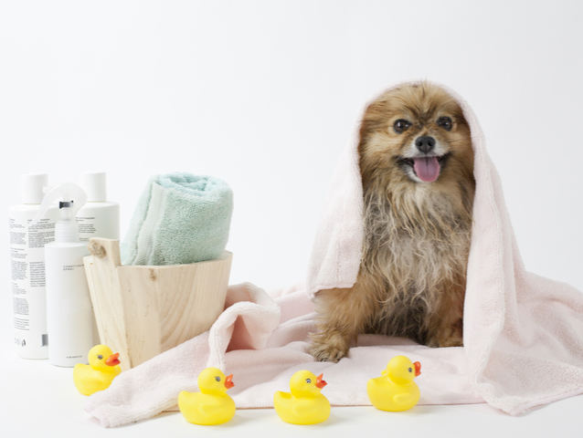 dog with toy ducks