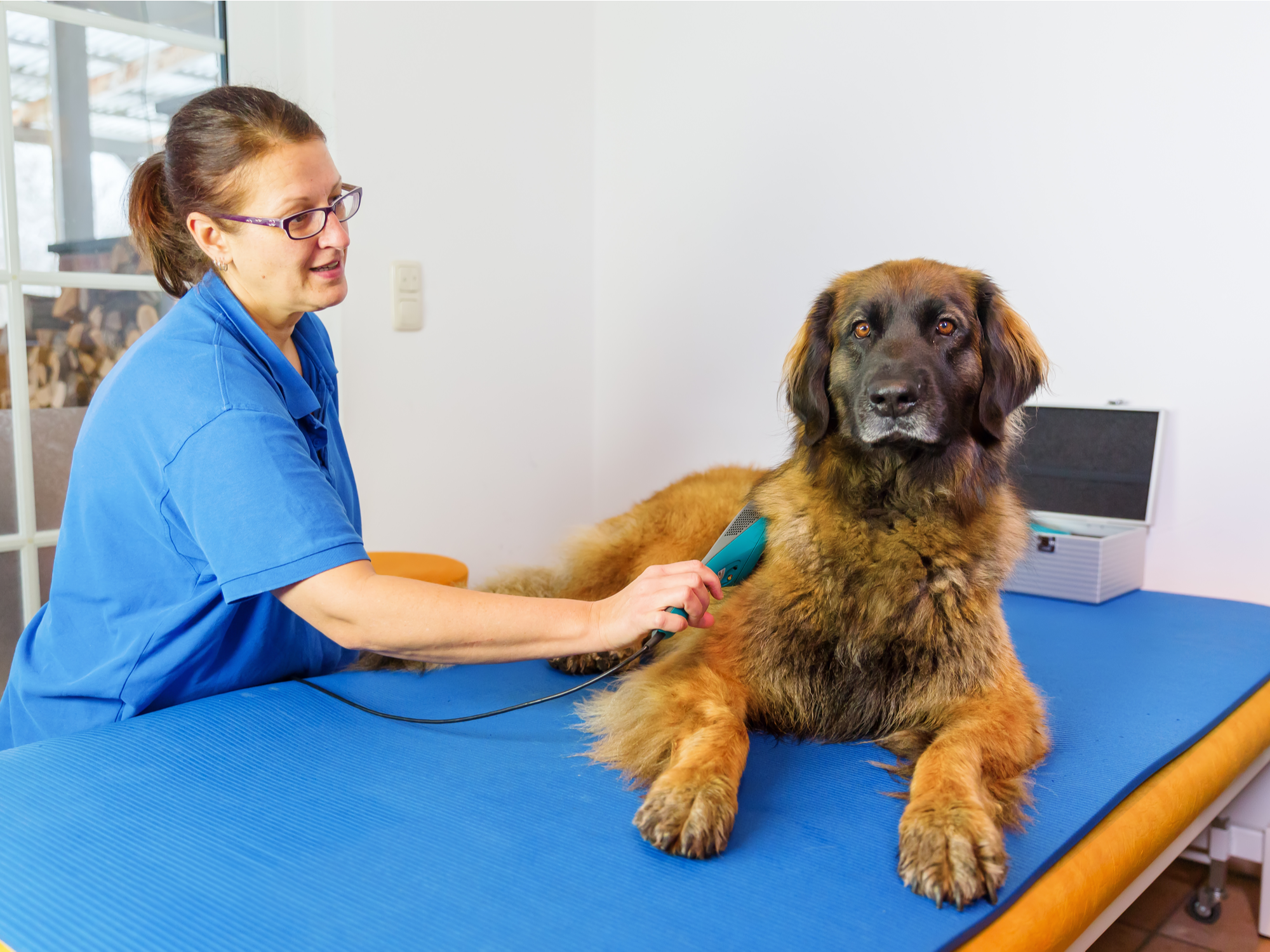 Is Cold Laser Therapy Effective in Dogs?