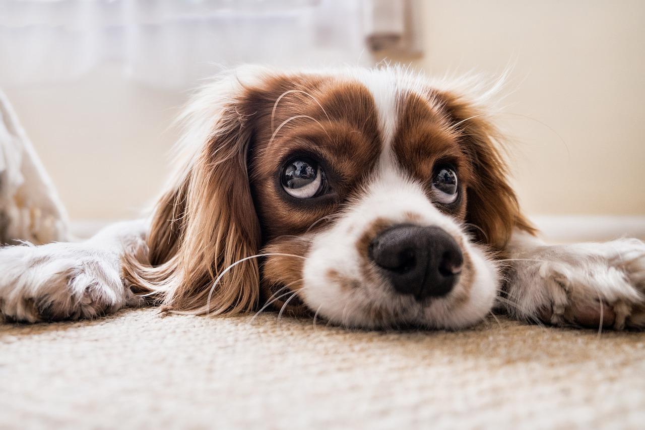 Canine Distemper