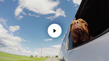 Dog Mastiff Car Ride