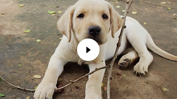 Yellow Lab Puppy Playing with a Stick