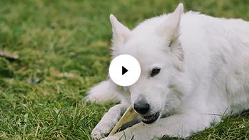White Swiss Shepard Chewing