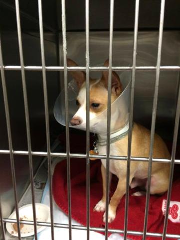 Pet Surgery at Herschel Animal Clinic in Jacksonville FL
