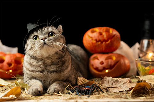 Important reasons to keep cats away from the door on Halloween