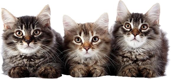 three gray cats