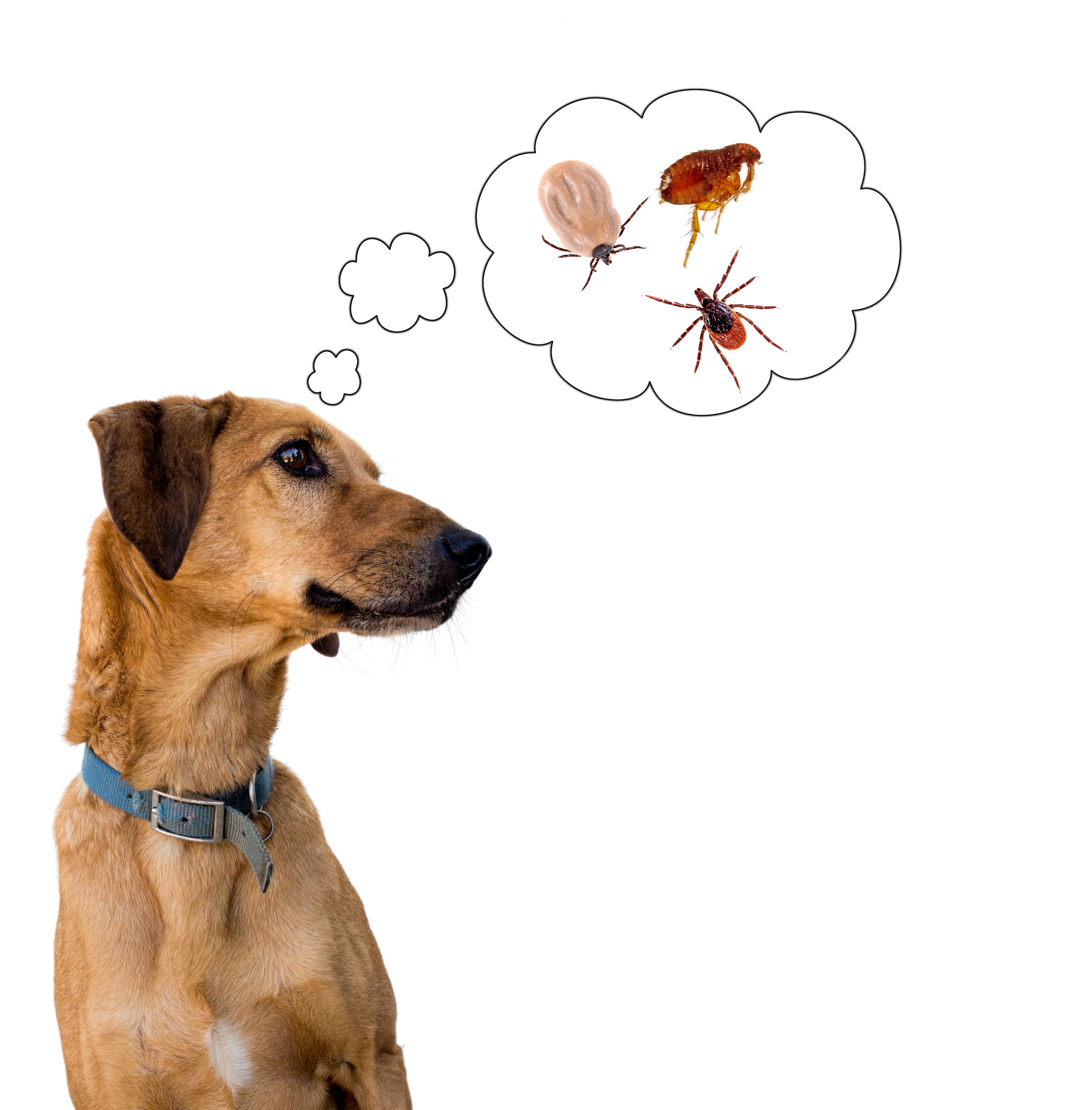 Preventing Fleas/Ticks in Pets