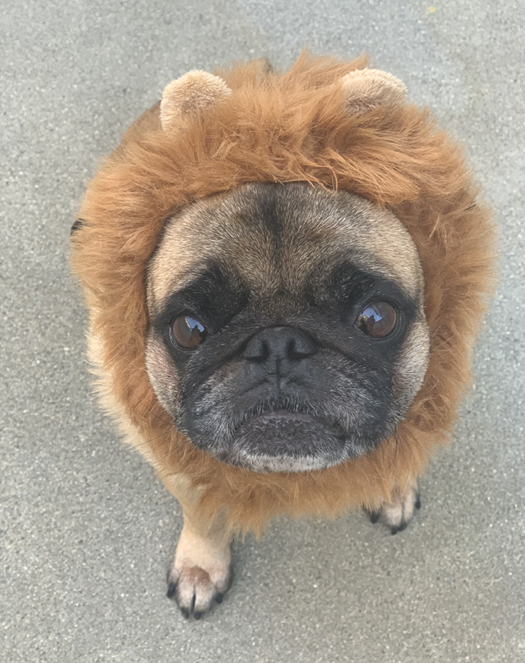 Boomer as a Baby Lion