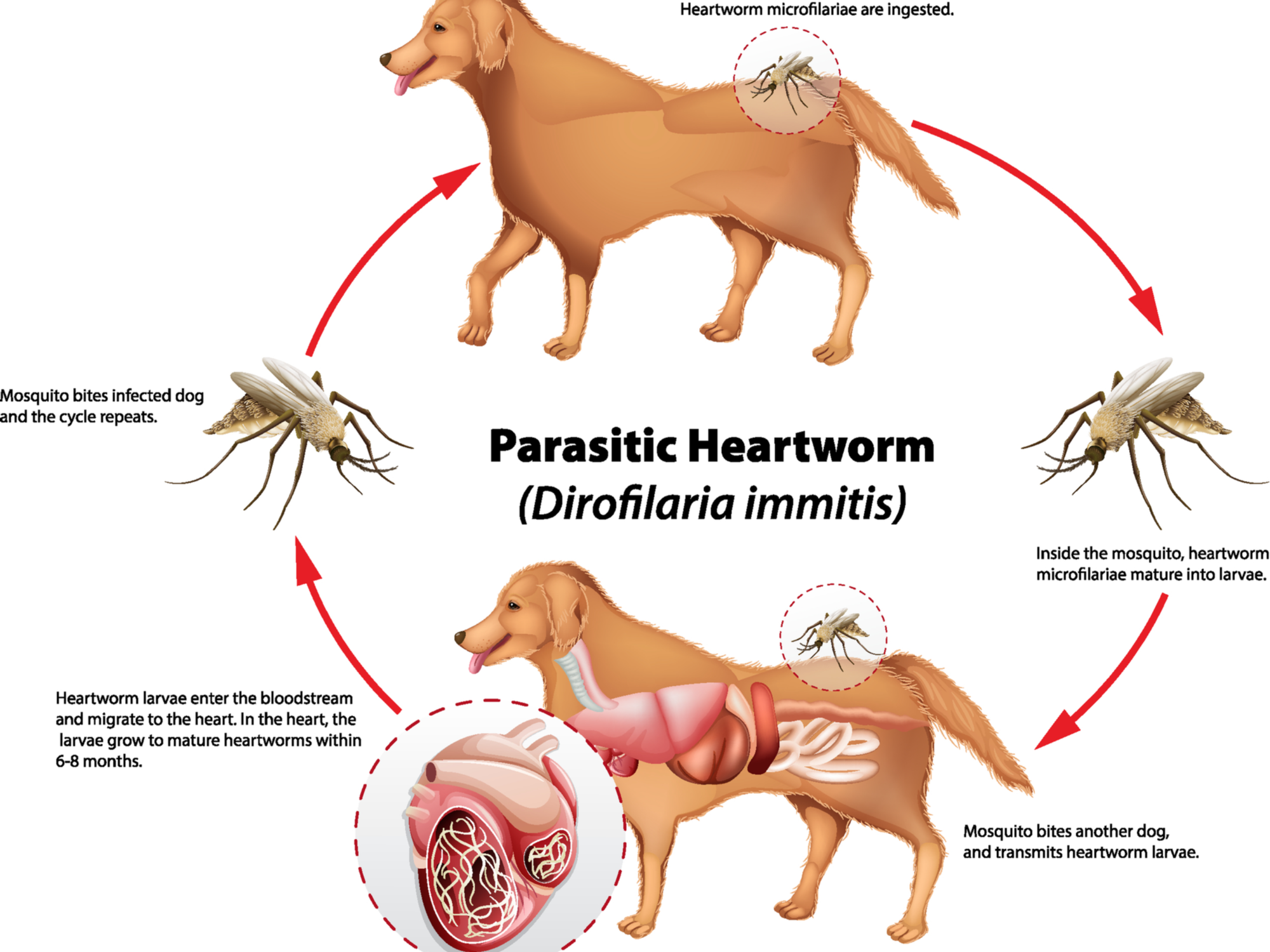 Signs and Symptoms of Heartworm Disease