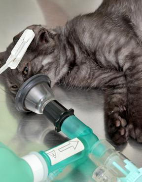 cat under surgery