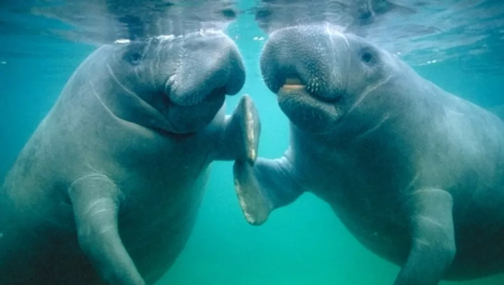 manatees in FL