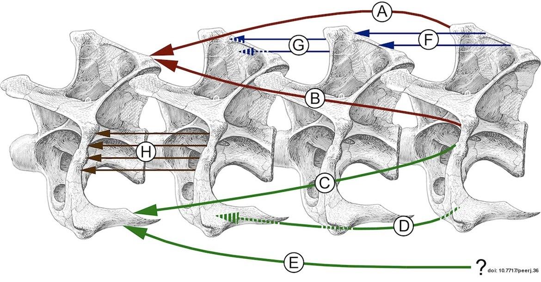Sauropod neck