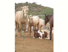 Dreamchaser PMU Horse Rescue & Rehabilitation