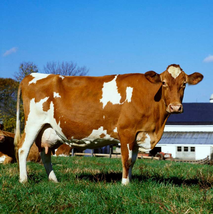 Our Dairy Cows | Dairy Cow Breeds | Dairy Cow Facts | California Dairy