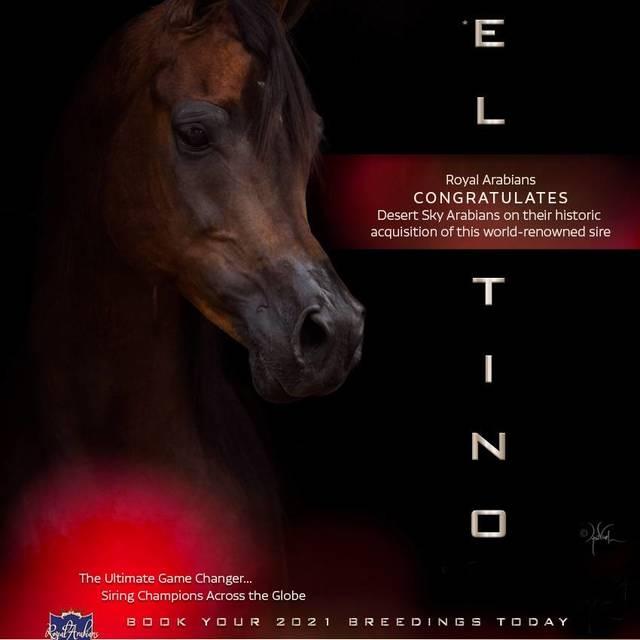 El Tino is now owned by Desert Sky Arabians, LLC of Scottsdale Arizona!
