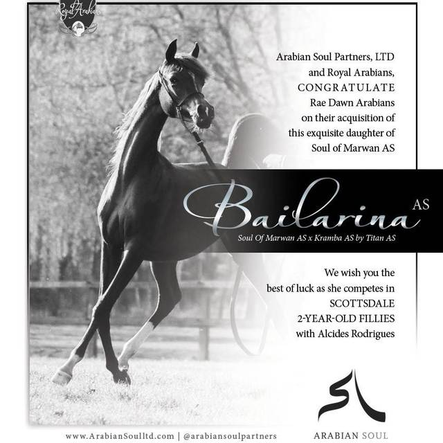 Bailarina AS is now owned and loved by Rae-Dawn Arabians