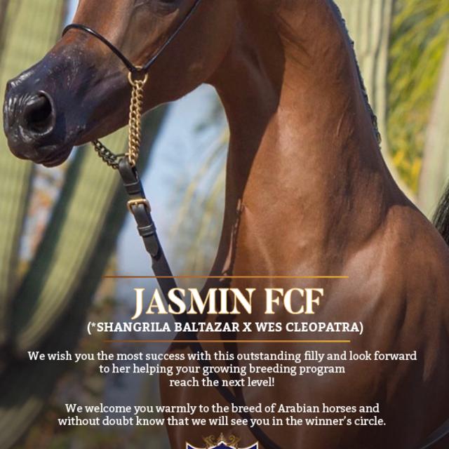 Welcome to the wonderful world of Arabian horses!