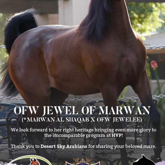 OFW Jewel of Marwan and her amazing bloodlines will now be incorporated to the program of HVP!