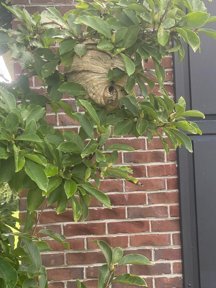 Removed hornets nest from tree