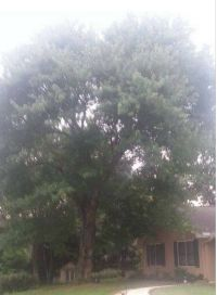 """Carefully took down 48"""" tree in front yard that was close to house for customer in Roswell, Georgia recently."""