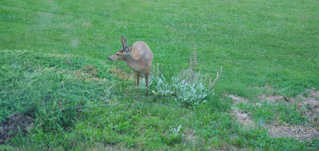 Roanoke, VA - Deer