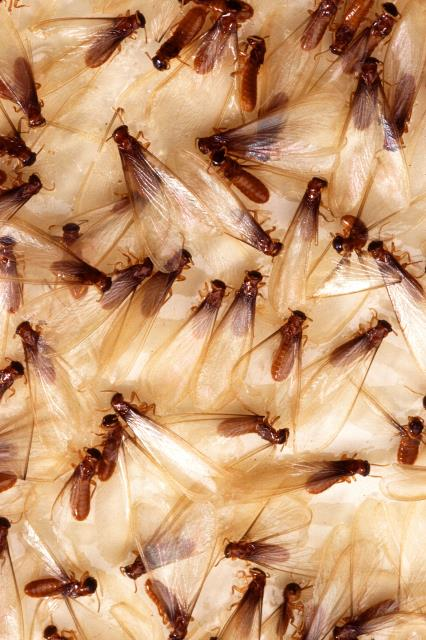 Owens Cross Roads, AL - On of our technicians, completed a call back service for possible termite swarmers or swarming ants in the attic.