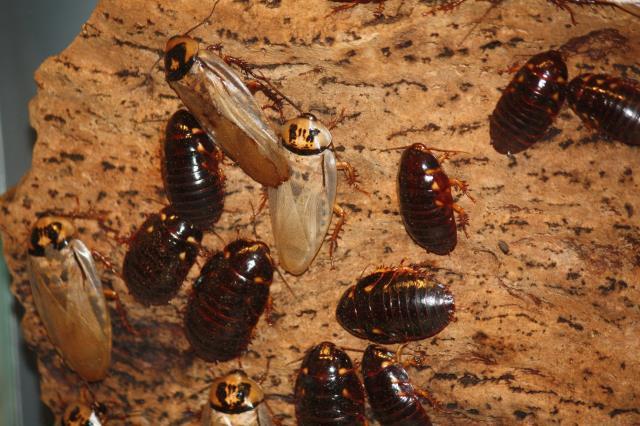 Daphne, AL - Roach Extermination