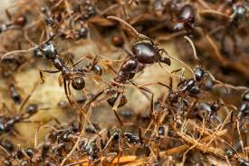 One of our pest control technicians, rendered a monthly service for the problem of ants on a residential dwelling in Cullman, AL.