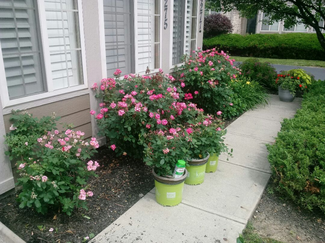 New Albany, OH - Removing shrubs and planting pink knock out rose