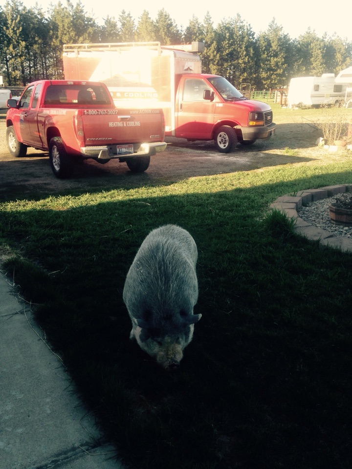 Deer Park, WA - Got a pig for are customer