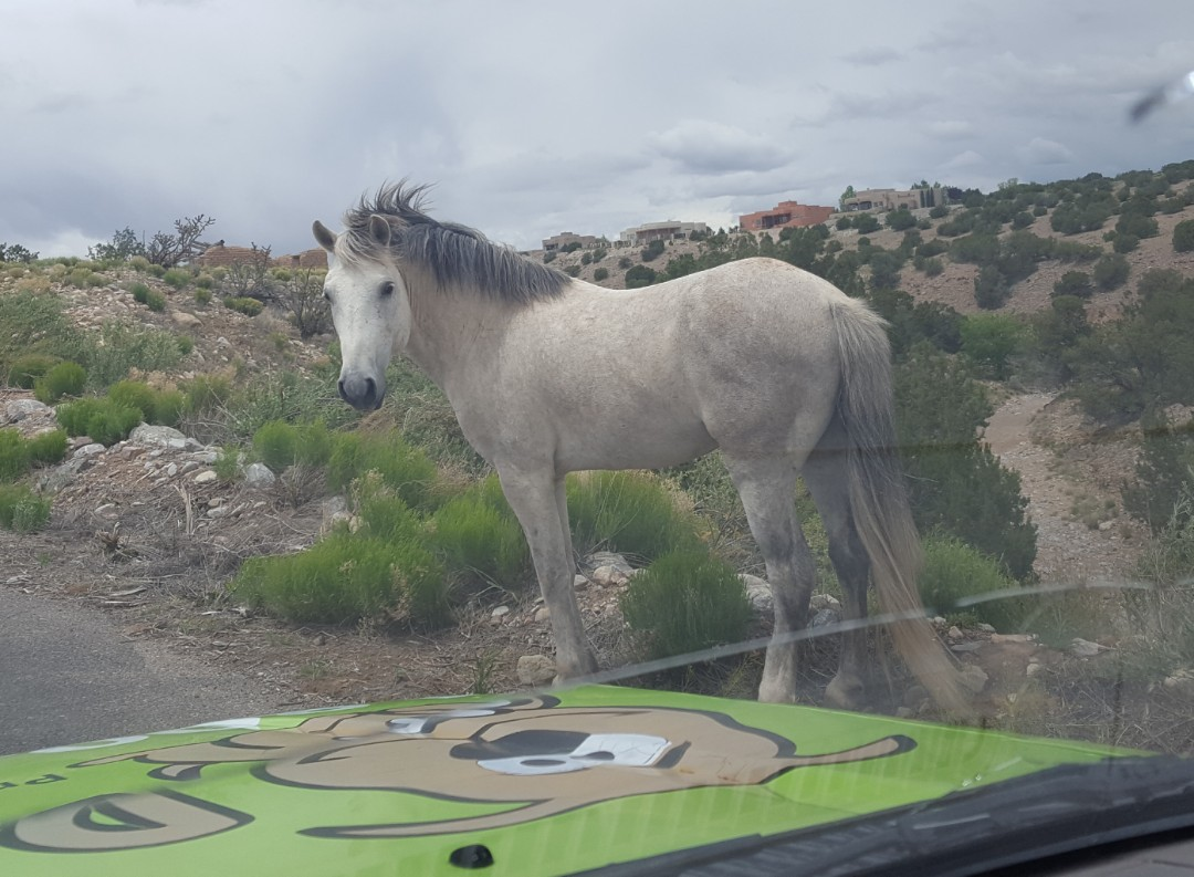 Placitas, NM - A genuine Wild Horse of Placitas likes our DoodyCalls truck!