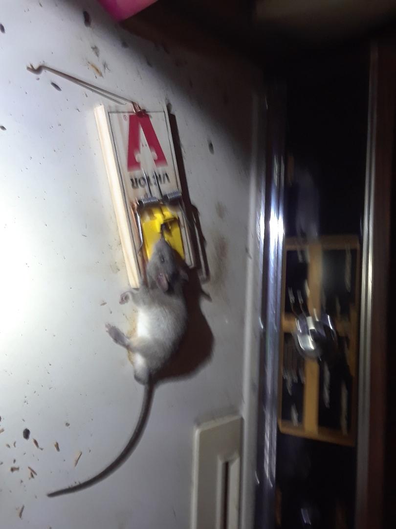 Tyler, TX - Roof rat caught in garage