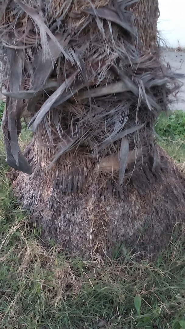Long Beach, CA - Tree Roots in Mainline Sewer
