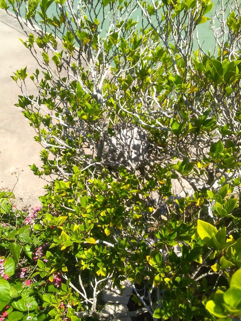 Port Isabel, TX - Removed wasp nest from landscaping area. Sprayed area with bee/wasp  repellent after removing nest.