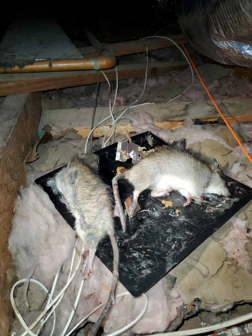 McAllen, TX - Taking care of another customer who had a rodent issue  contact  us if your having issue with rats opossums or you basic house hold bugs