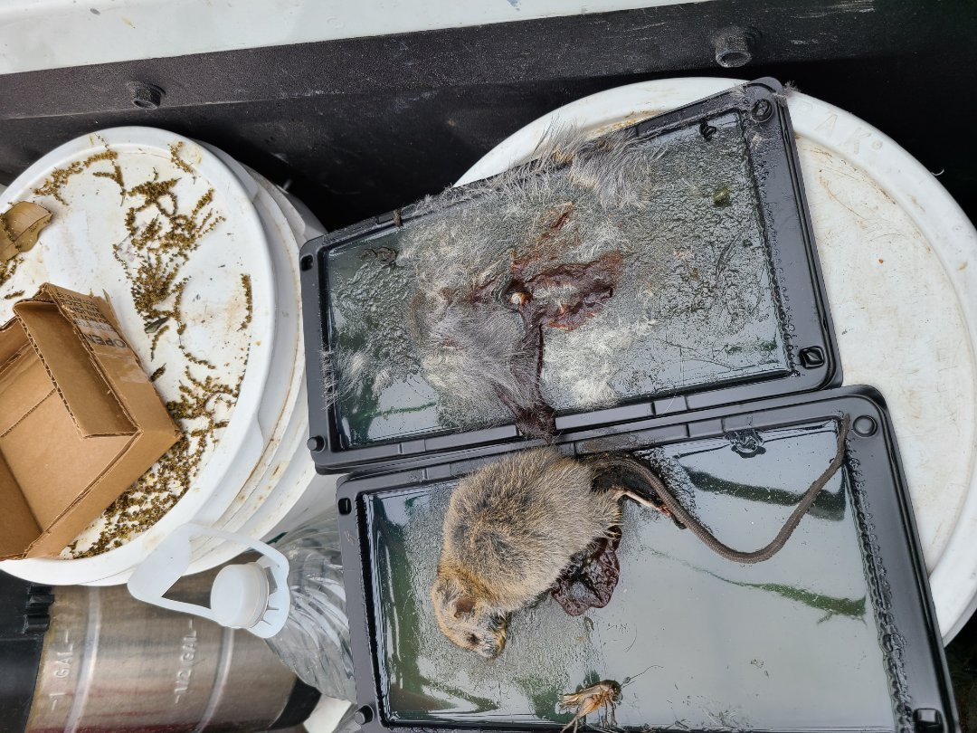 Pharr, TX - Working on General Pest Service. Removed Rodent Caught From Previous Traps Set